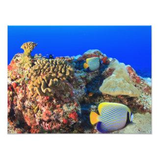 Diacanthus real de Pygoplites del Angelfish), Cojinete