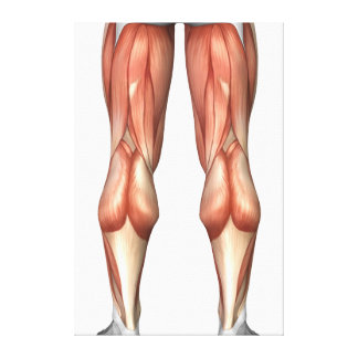 Diagram Illustrating Leg Muscle Groups Canvas Print