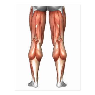 Diagram Illustrating Leg Muscle Groups Postcard