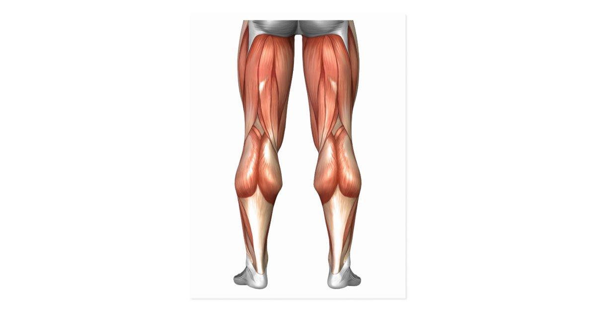 Diagram Illustrating Leg Muscle Groups Postcard Zazzle