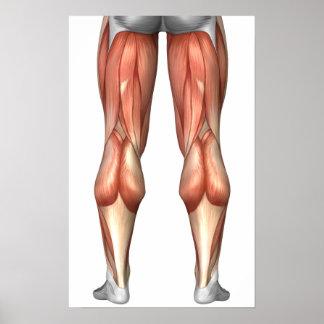 Diagram Illustrating Leg Muscle Groups Print