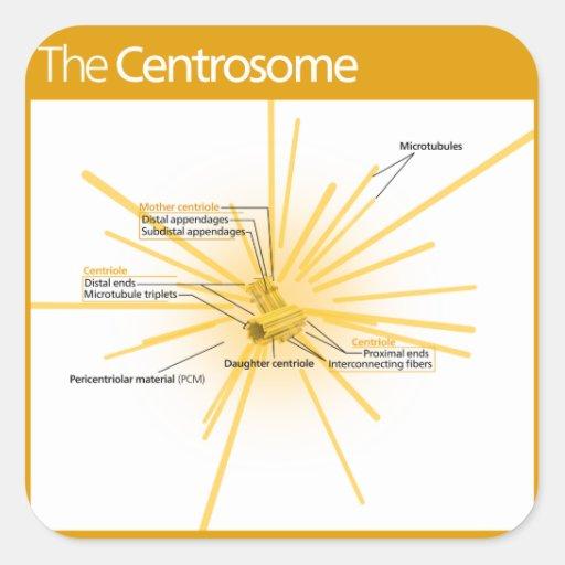 Diagram of a Centrosome Square Sticker : Zazzle