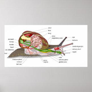 Diagram of a Snail Helix Aspersa Mollusc Poster