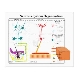 Diagram of Basic Nervous System Functions Canvas Print