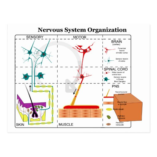 Diagram of Basic Nervous System Functions Postcard