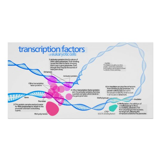 Diagram of gene transcription factors poster