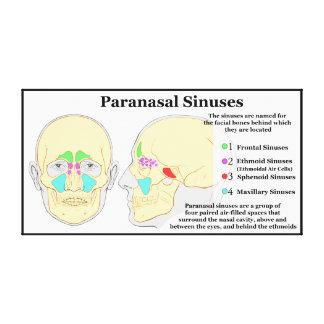 Diagram of Human Paranasal Sinuses Canvas Print
