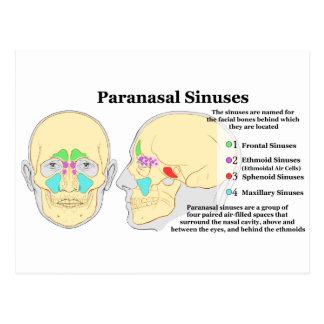 Diagram of Human Paranasal Sinuses Postcard