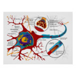 Diagram of Neurons Nerve cells Print