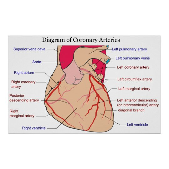 Diagram of the coronary arteries of a human heart poster zazzle diagram of the coronary arteries of a human heart poster ccuart Choice Image