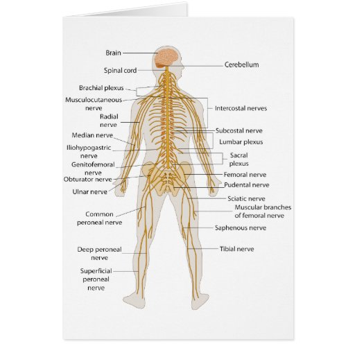 Diagram of the Human Body's Nervous System Card