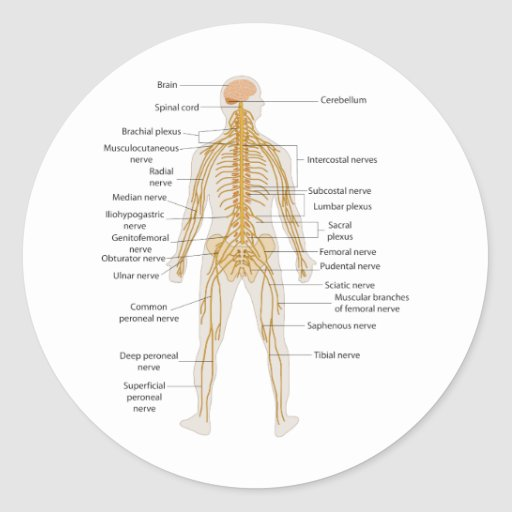Diagram of the Human Body's Nervous System Stickers