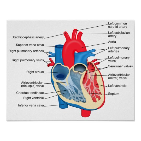 Diagram Of The Human Heart Poster Zazzle