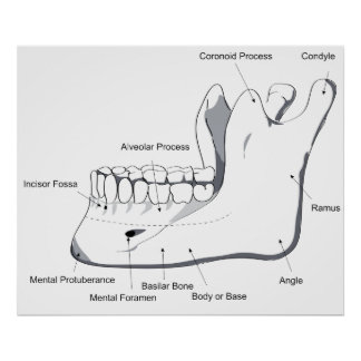Diagram of the Human Mandible of the Skull Poster