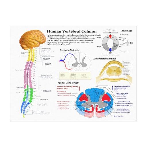 Diagram of the Human Vertebral Column Stretched Canvas Prints