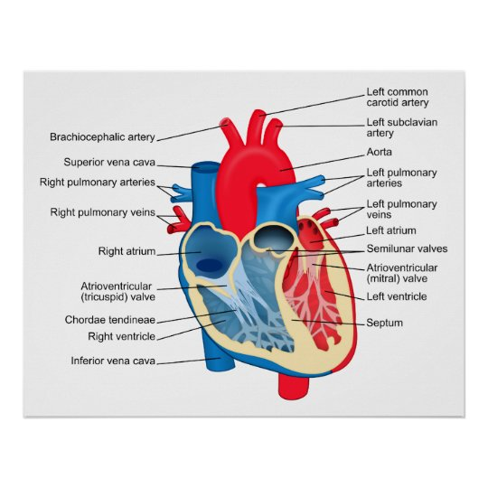 Diagram of the Individual Parts of the Human Heart Poster | Zazzle.com