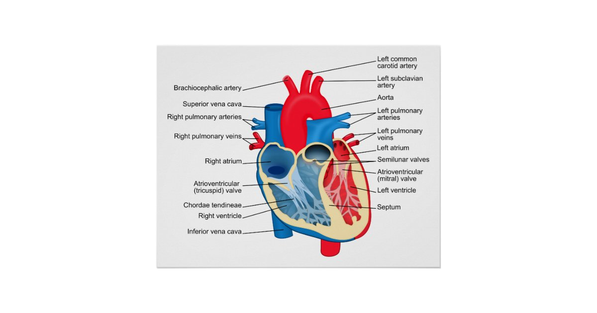 Diagram Of The Individual Parts Of The Human Heart Poster Zazzle