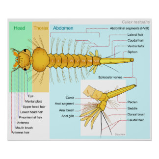 Diagram of the Larva of a Mosquito Culex Restuans Poster