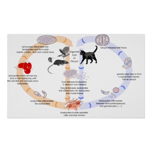Diagram Of The Life Cycle Of Toxoplasma Gondii Poster