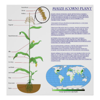Diagram of the Maize Corn Plant Poster