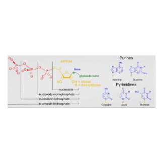 Diagram of the Major Nucleotide Molecules Poster