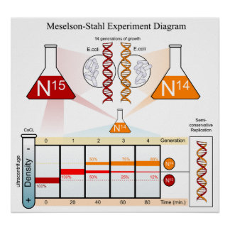 Diagram of the Meselson Stahl Experiment DNA Posters