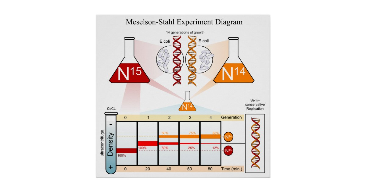 Diagram of the Meselson Stahl Experiment DNA Poster Zazzle