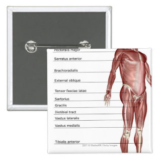 Diagram of the muscular system 2 inch square button