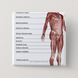 Diagram of the muscular system button