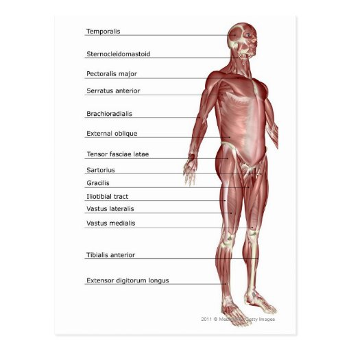 Diagram of the muscular system postcard