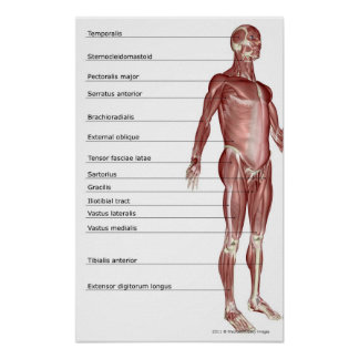 Diagram of the muscular system poster