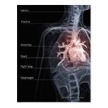 Diagram of the respiratory system and the heart postcard