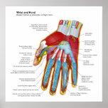 Diagrama anatómico de la mano y de la muñeca human posters