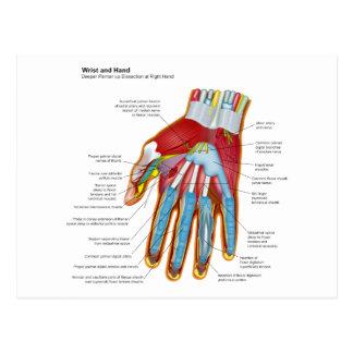 Diagrama anatómico de la mano y de la muñeca postales