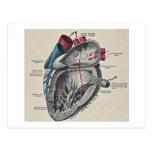 Diagrama anatómico del corazón del arte del vintag tarjeta postal