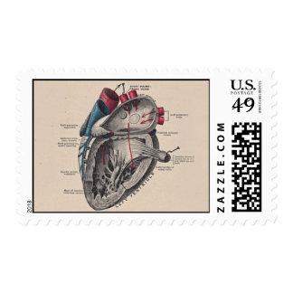 Diagrama anatómico del corazón estampillas