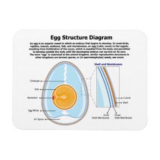Diagrama biológico de la anatomía de un huevo imán rectangular