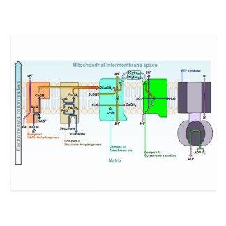 Diagrama de espacio de Mitonchondrial Postales
