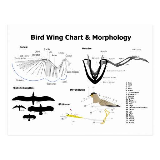 Diagrama de la anatomía de las alas del pájaro postal