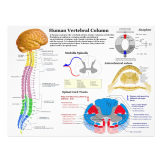 Diagrama de la columna vertebral humana foto
