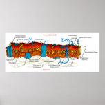 Diagrama de la membrana celular común en todas las poster