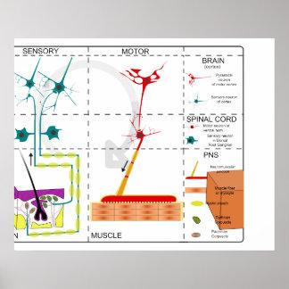 Diagrama de la organización del sistema nervioso póster