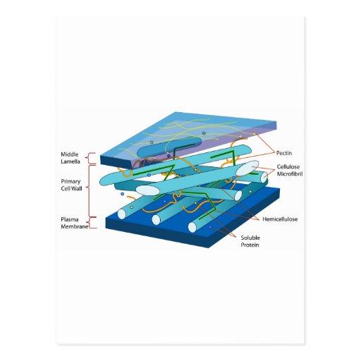 Diagrama de la pared celular de la planta tarjetas postales