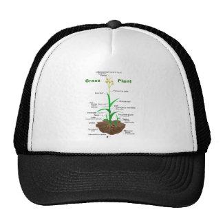 Diagrama de la planta de Graminoids de la hierba Gorras De Camionero