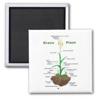 Diagrama de la planta de Graminoids de la hierba Imán De Nevera