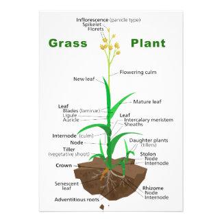 Diagrama de la planta de Graminoids de la hierba Invitaciones Personalizada