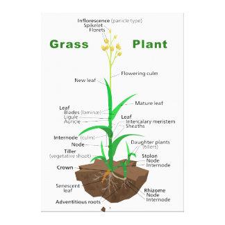 Diagrama de la planta de Graminoids de la hierba Impresión De Lienzo