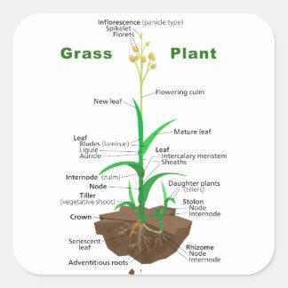 Diagrama de la planta de Graminoids de la hierba Calcomanía Cuadrada