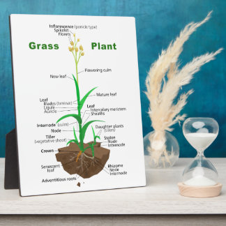 Diagrama de la planta de Graminoids de la hierba Placa
