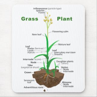 Diagrama de la planta de Graminoids de la hierba Alfombrilla De Raton